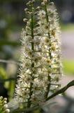 Albero di lauro ceraso in fioritura, fiori e foglie Fotografia Stock Libera da Diritti