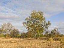 Albero di Leadwood fotografie stock