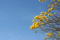 Albero di Leaveless in fiore Fotografia Stock