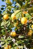 Albero di limone fotografie stock libere da diritti