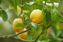 Albero di limone Immagine Stock