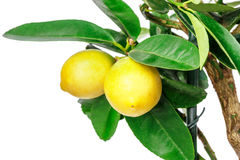 Albero di limone isolato su bianco Fotografia Stock Libera da Diritti