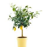 Albero di limone organico Fotografia Stock