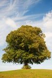 Albero di Linden Fotografia Stock