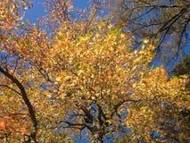 Albero di liquidambar styraciflua con le foglie variopinte ed i semi nella caduta Immagini Stock