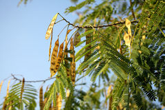 albero di locusta Immagine Stock Libera da Diritti