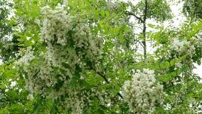 Albero di locusta di fioritura Fiori e foglie dell'ondeggiamento bianco dell'acacia nel vento su un ramo di albero nel parco video d archivio