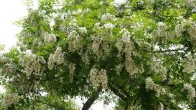 Albero di locusta di fioritura Fiori e foglie dell'ondeggiamento bianco dell'acacia nel vento su un ramo di albero nel parco stock footage
