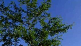 Albero di locusta nell'estate stock footage