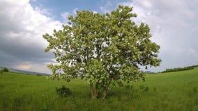 Albero di locusta nera con molti fiori bianchi alla molla stock footage