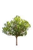 Albero di malayana di Irvingia Fotografia Stock