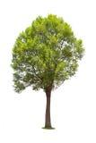 Albero di malayana di Irvingia Fotografie Stock Libere da Diritti