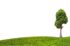 Albero di malayana di Irvingia ed erba verde su fondo bianco isolato Fotografia Stock