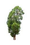 Albero di malayana di Irvingia isolato su fondo bianco Immagine Stock Libera da Diritti