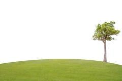 Albero di malayana di Irvingia su erba verde Immagine Stock