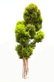 Albero di malayana di Irvingia su erba verde Fotografie Stock