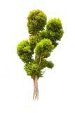 Albero di malayana di Irvingia su erba verde Immagini Stock Libere da Diritti