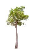 Albero di malayana di Irvingia sul fondo di bianco dell'isolato Fotografie Stock