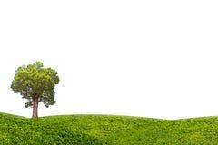 Albero di malayana di Irvingia sul prato verde isolato su fondo bianco Fotografia Stock