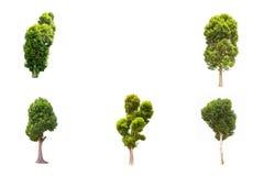 Albero di malayana di Irvingia sul prato verde isolato su fondo bianco Fotografie Stock