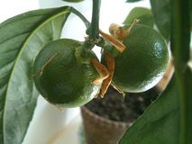 Albero di mandarino fotografie stock