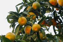 Albero di mandarino Fotografie Stock Libere da Diritti