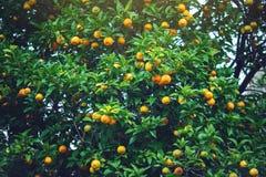 Albero di mandarino con le foglie verdi ed i frutti arancio Fondo all'aperto naturale dell'alimento Immagini Stock Libere da Diritti