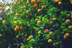 Albero di mandarino con le foglie verdi ed i frutti arancio Fondo all'aperto naturale dell'alimento Fotografia Stock