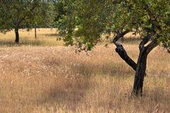 Albero di mandorla in estate Fotografia Stock Libera da Diritti