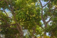 Albero di mango fotografie stock libere da diritti