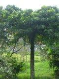 Albero di mango Fotografia Stock