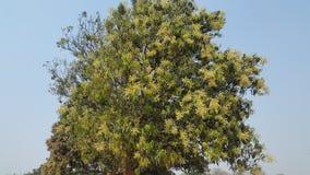 Albero di mango Immagini Stock