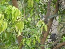 Albero di mango e koel femminile asiatico appollaiati su  fotografie stock