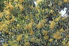 Albero di mango di fioritura Fotografie Stock Libere da Diritti