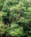 Albero di mango (Mangifera) Fotografia Stock Libera da Diritti