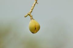 Albero di mango nella fase iniziale Fotografie Stock