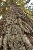 Albero di Metasequoia Fotografia Stock