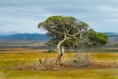 Albero di Milkwood Provincia della Provincia del Capo Occidentale, Sudafrica Fotografia Stock Libera da Diritti