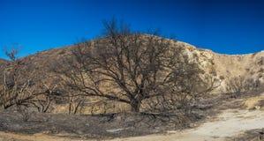 Albero di morte in canyon bruciato fotografie stock libere da diritti