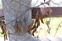 Albero di mucuna pruriens nel giardino fotografie stock libere da diritti