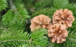 Albero di Natale Albero di abete o del pino con i coni Fotografia Stock