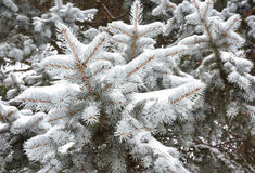 Albero di Natale attillato coperto in neve, clouseup Immagini Stock Libere da Diritti