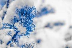 Albero di Natale con gli aghi azzurrati coperti di neve lanuginosa fotografia stock libera da diritti