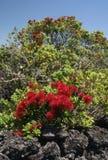 Albero di Natale di Pohutukawa Fotografia Stock