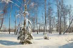 Albero di Natale sotto neve un chiaro giorno Immagini Stock Libere da Diritti