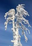 Albero di nevicata al sole Fotografia Stock Libera da Diritti