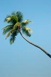 Albero di noce di cocco Fotografia Stock Libera da Diritti