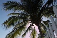 Albero di noce di cocco Fotografie Stock Libere da Diritti