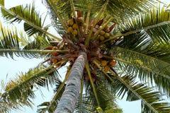 Albero di noce di cocco Fotografia Stock