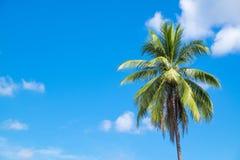 Albero di noce di cocco Immagine Stock Libera da Diritti